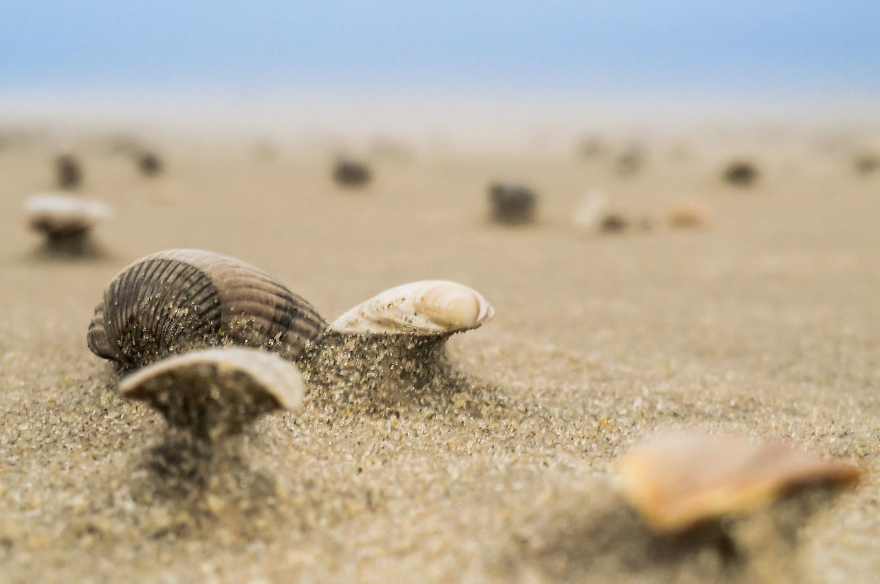SEA SHELLS Animal Shell Animal Themes Animals In The Wild Beach Beauty In Nature Close Up Close-up Day Fragility Gastropod Horizon Nature No People One Animal Outdoors Sand Sea Life Sea Shells Sea Turtle Seashell Selective Focus Snail Surface Level Wildlife Windformed