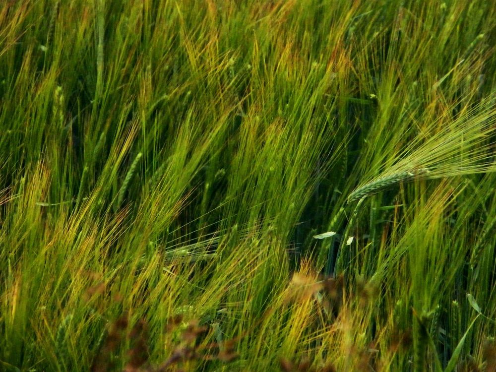Agriculture Barley Beauty In Nature Cereal Crops Close-up Day Farming Field Grains Grass Green Green Color Growing Growth Lush Foliage Nature No People Oats Outdoors Plant Rural Scene Seeds Tranquil Scene Tranquility Wheat