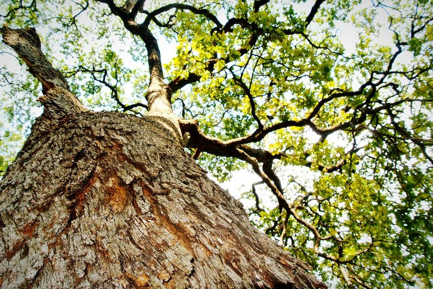 Nature Perspective. Tree Tree Trunk Low Angle View Nature Growth Branch Beauty In Nature No People Sky Outdoors Day Close-up Nature Photography Texas Photography Trees EyeEmNewHere Photographer Photography Blissful Moments Park Texas Nature Nature Collection Day At The Park