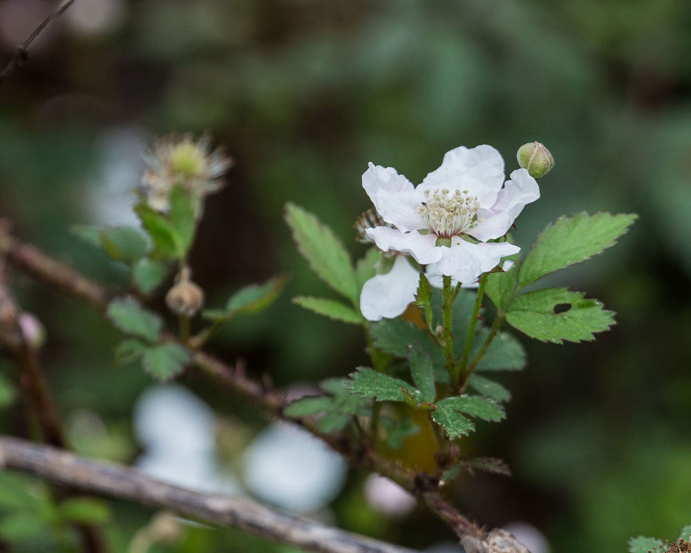 Beauty In Nature Blackberry Flower Blooming Blossom Botany Close-up Day Flower Flower Head Focus On Foreground Fragility Growth In Bloom Nature No People Outdoors Petal Plant Pollen Season  Selective Focus Stamen Stem White White Color