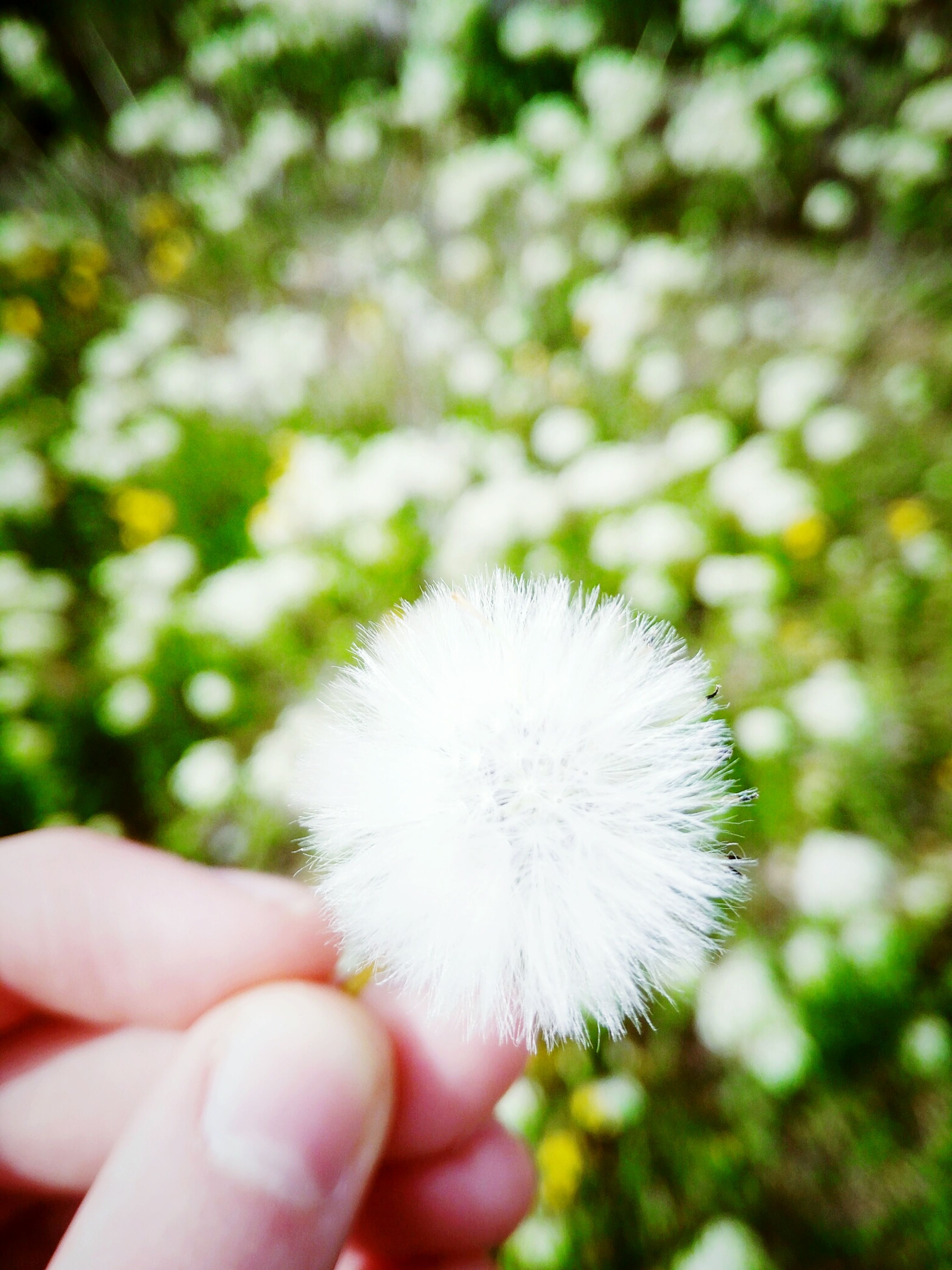 person, holding, dandelion, flower, part of, human finger, cropped, white color, freshness, fragility, focus on foreground, unrecognizable person, personal perspective, close-up, flower head, single flower, nature