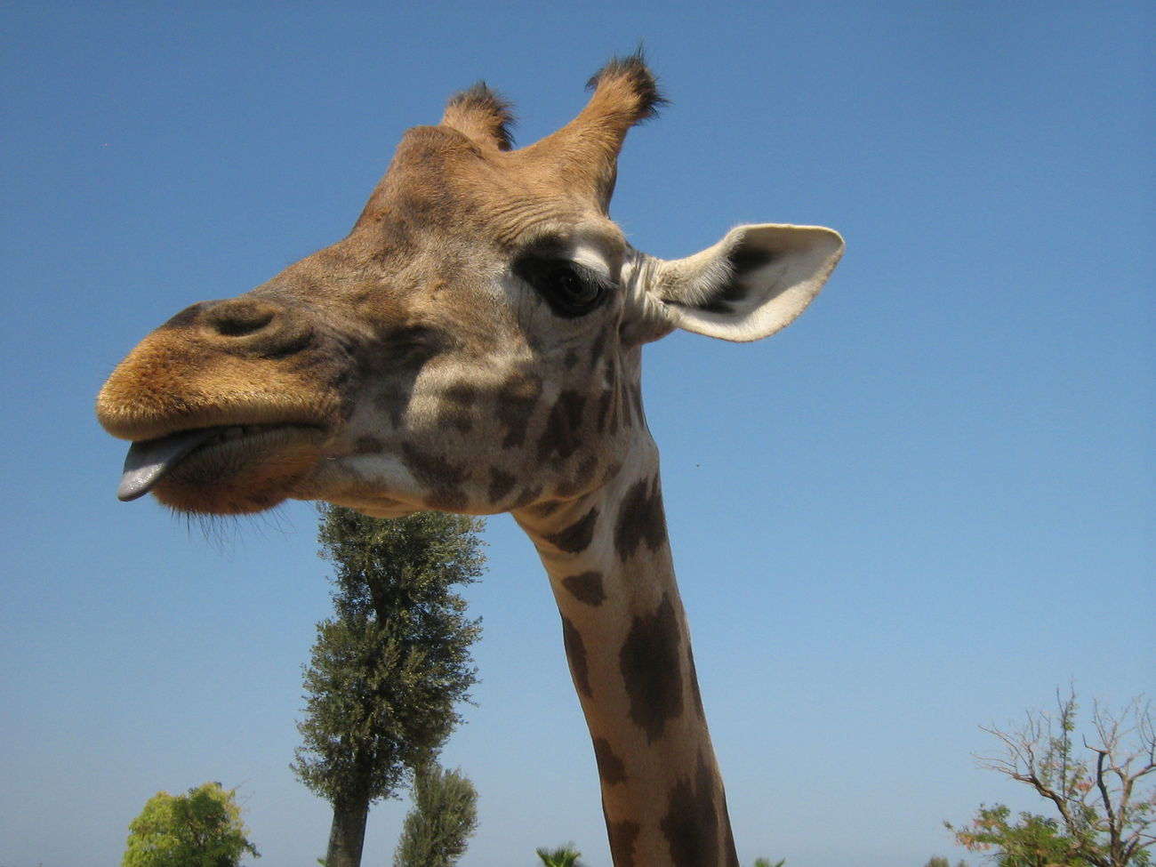 Giraffe Summer Animal Tongue Out Funny Anımals Longneck