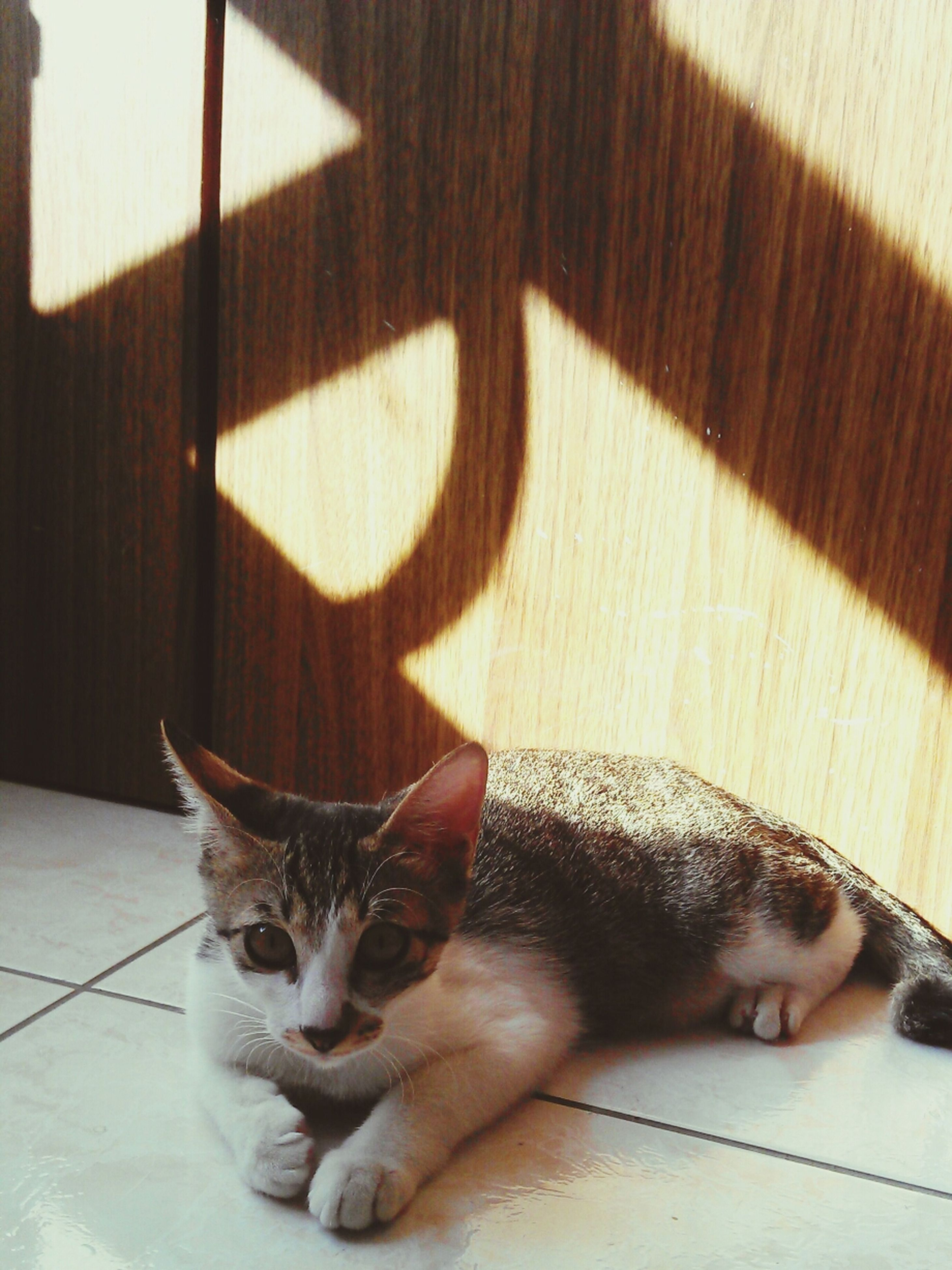 pets, domestic animals, mammal, animal themes, domestic cat, one animal, cat, feline, relaxation, lying down, whisker, resting, indoors, looking at camera, portrait, home interior, sitting, high angle view, flooring, relaxing