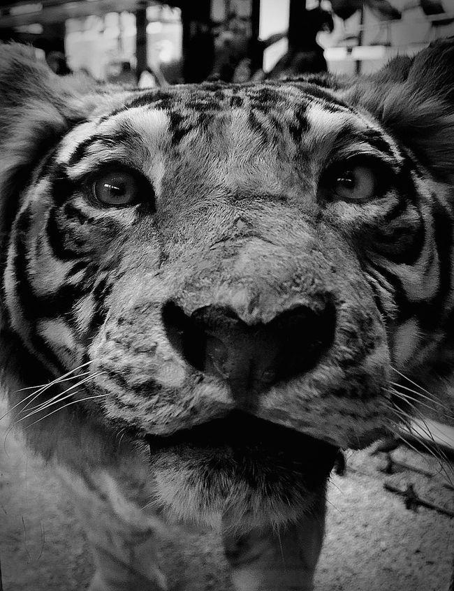 Easy Tiger ⁞ Nikonphotography AMPt_community EyeEm Best Shots EyeEm_crew EyeEm Gallery The Purist (no Edit, No Filter) Black & White Blackandwhite Photography Black And White Blackandwhite Eye4photography  Animals Tiger