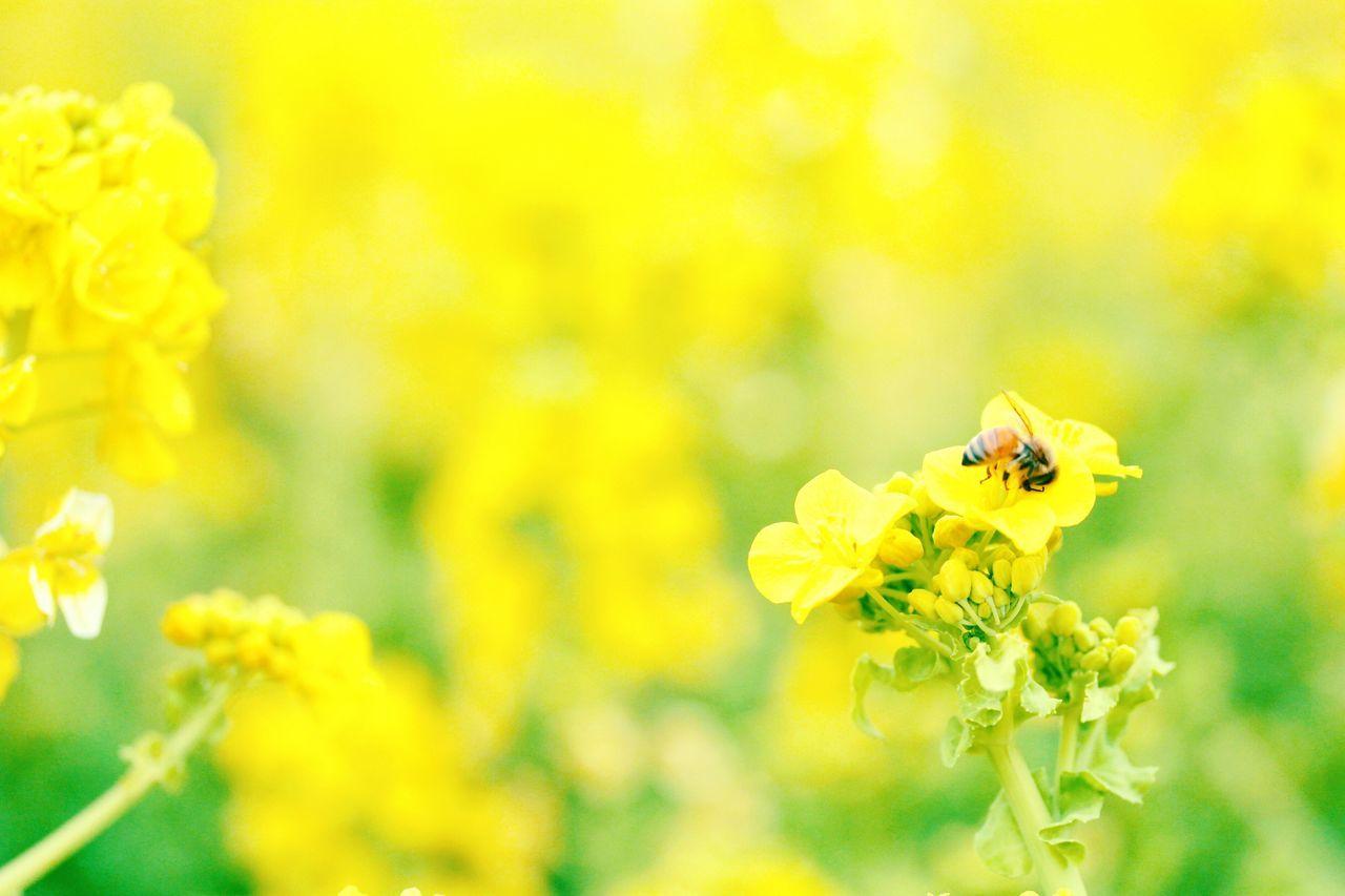 Flower Yellow Cute 可愛い かわいい Day Good 菜の花 黄色 Yellow 日本 Japan Canola Flower Canolaflower Bee