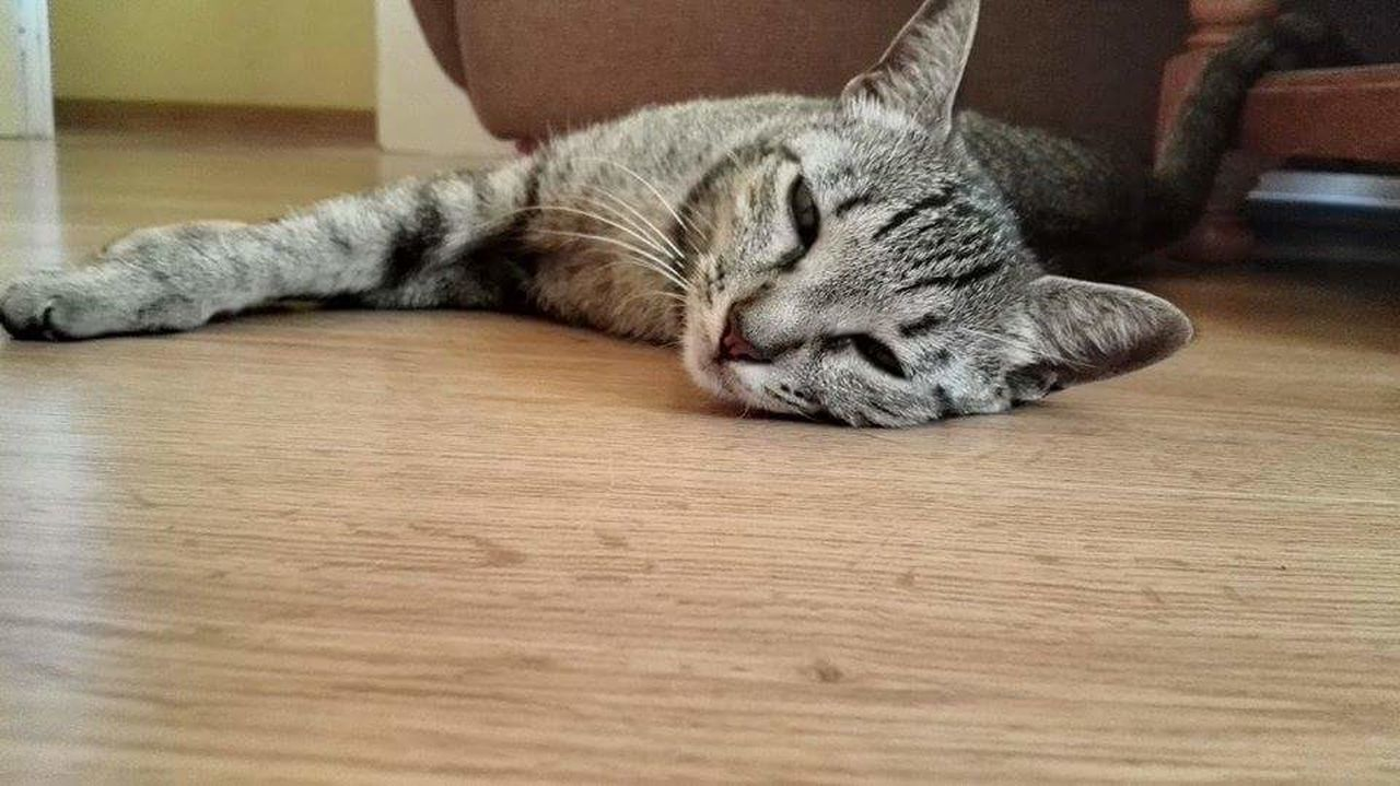 domestic cat, indoors, one animal, animal themes, relaxation, no people, pets, feline, domestic animals, close-up, mammal, day