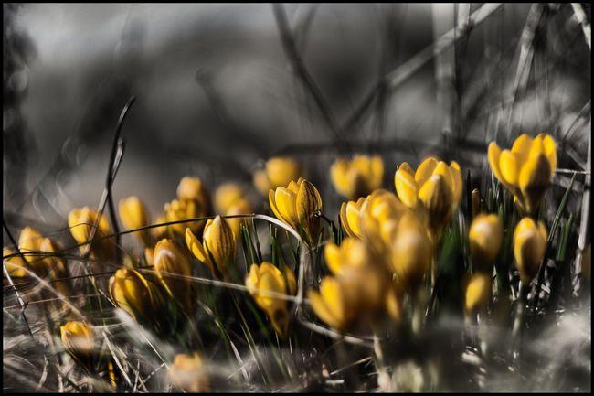 Crocus Vernus Krokus Yellow Flower Gul Spring Flowers Kungshamn FUJIFILM X-T1 EyeEm Nature Lover Nature Vårblomma