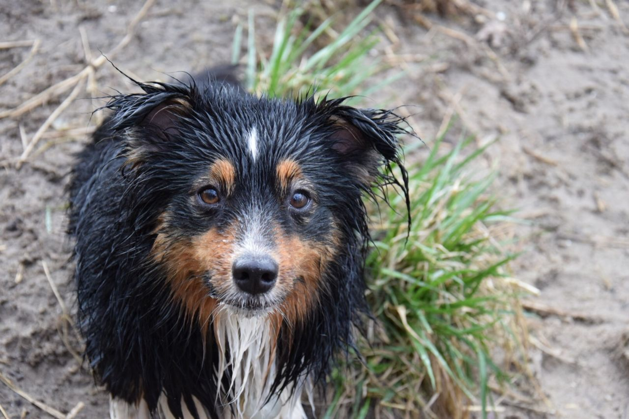 Spaß im und am Westensee Animal Themes Aussie Australienshepard Close-up Day Dog Domestic Animals Looking At Camera Mammal Miniaussie MiniAustralianShepard Nature No People One Animal Outdoors Pets Portrait Wet Dog Live For The Story