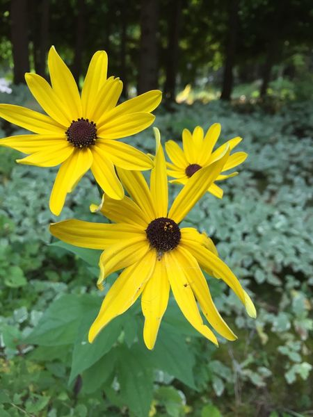 Yellow, Black-eyed Susan Flower Fragility Petal Yellow Freshness Nature Flower Head Beauty In Nature Plant Growth Blooming Black-eyed Susan Focus On Foreground Outdoors Day Pollen No People Close-up
