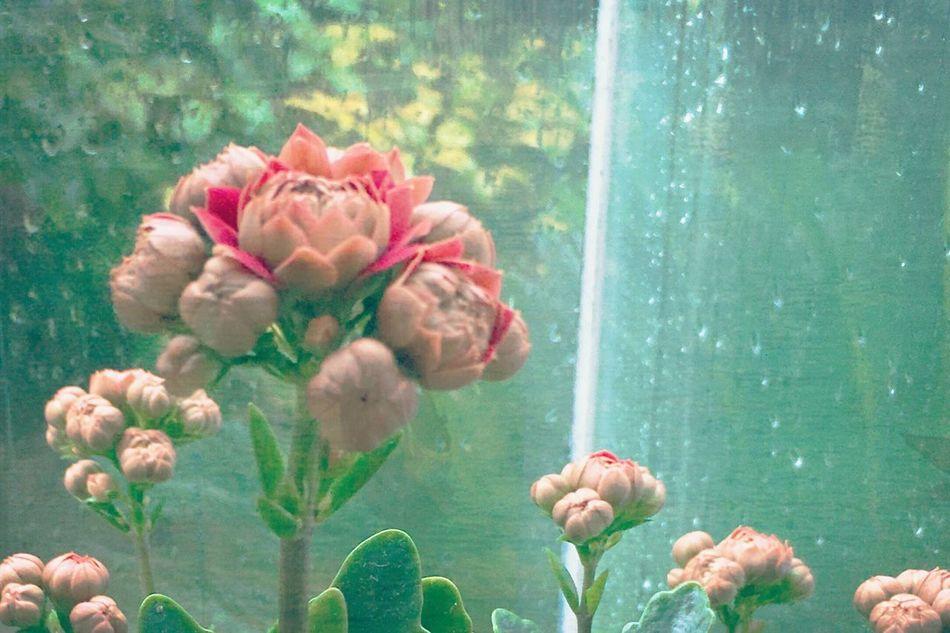 カランディーバの花 Budding Flower Beauty Kalanchoe Flower Popularity Happy Thankfulness Life 多肉ちゃん♪ 幸せな花 🏵
