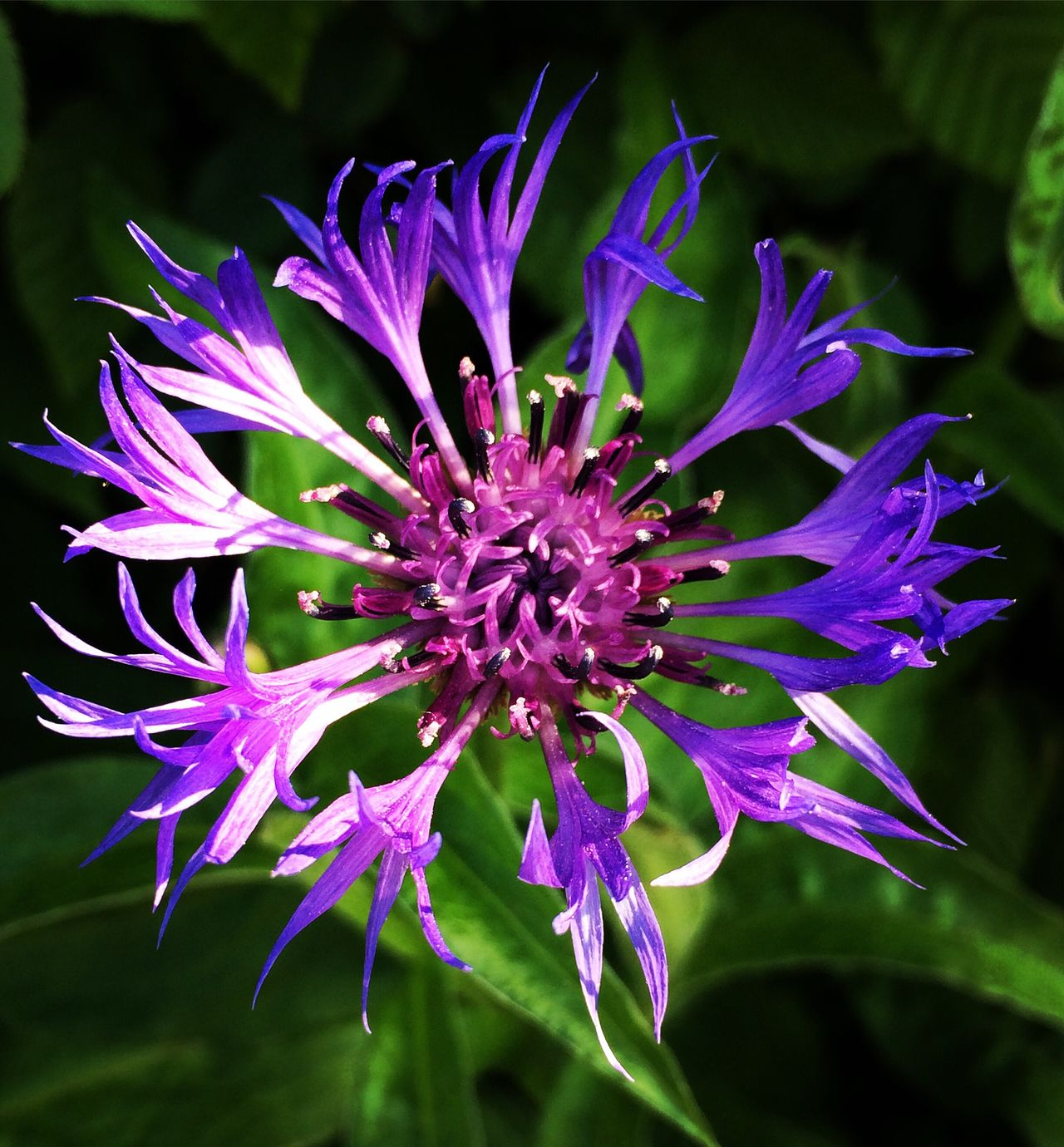 Flower Fragility Growth Freshness Petal Beauty In Nature Nature Flower Head Plant Focus On Foreground Close-up Day No People Blooming Outdoors Kornblume Cornflower