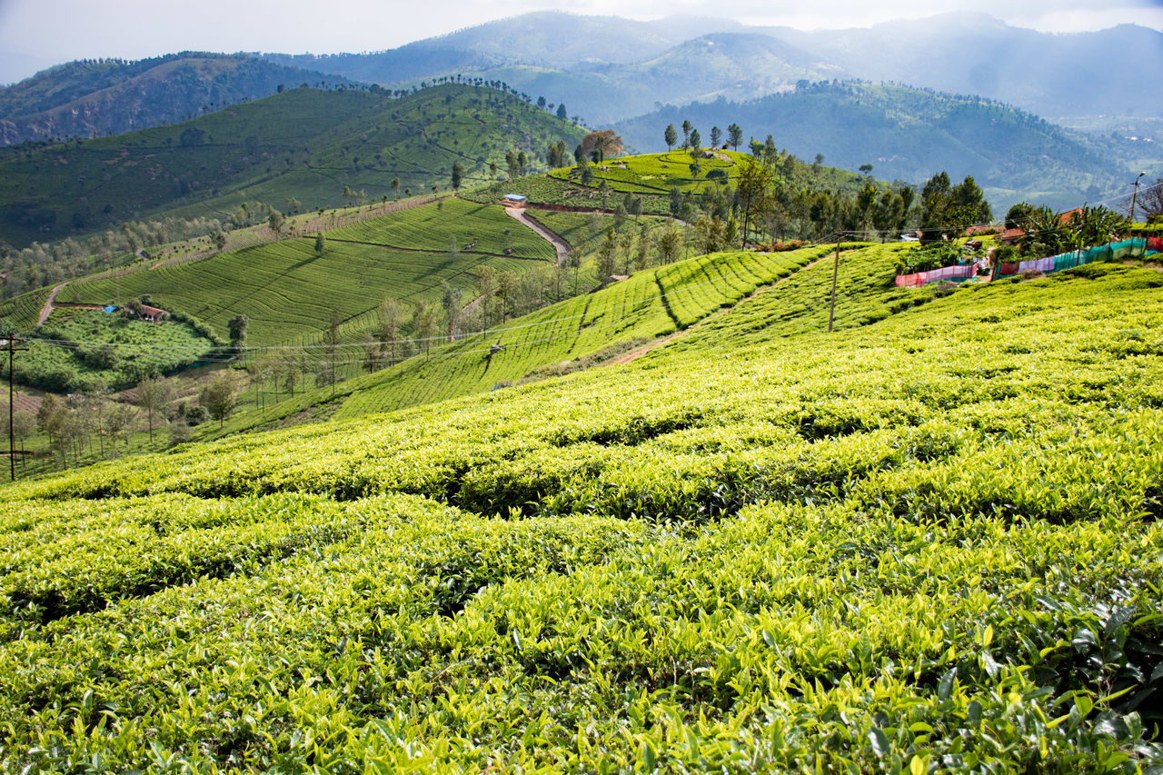 Agriculture Field Mountain Tea Crop Landscape Nature Tourism Crop  Outdoors Lush Foliage Social Issues Green Color Day Scenics Tree Growth Sky No People Beauty In Nature Beauty