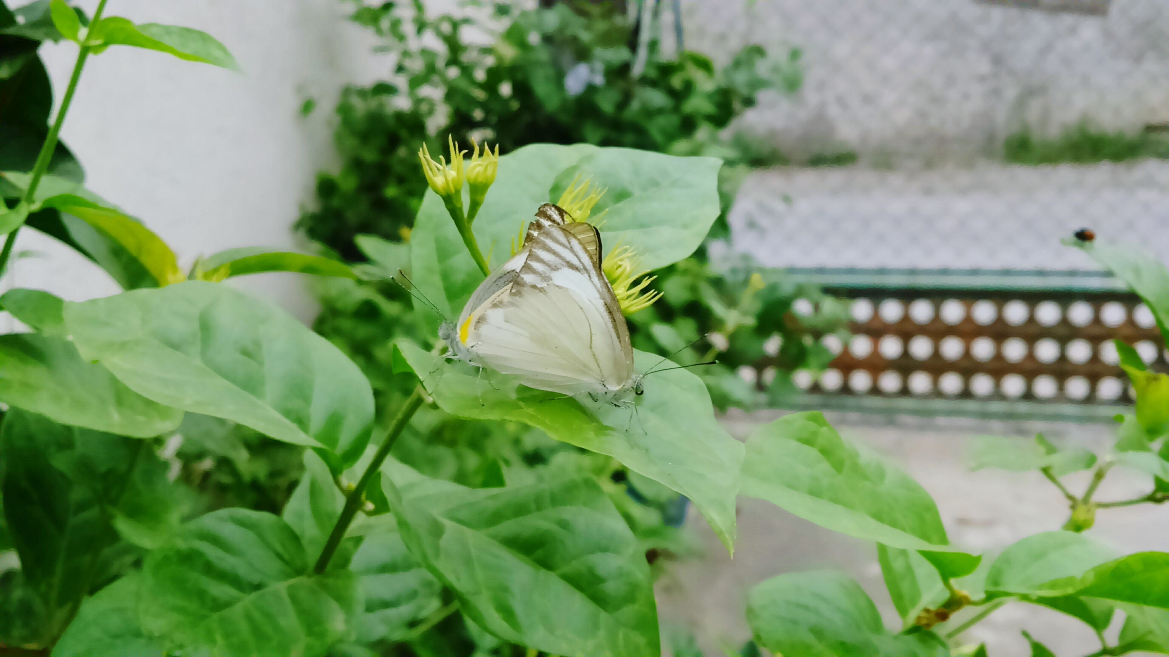 insect, leaf, one animal, animals in the wild, plant, animal themes, close-up, wildlife, focus on foreground, green color, butterfly - insect, growth, butterfly, nature, selective focus, day, outdoors, no people, animal antenna, potted plant