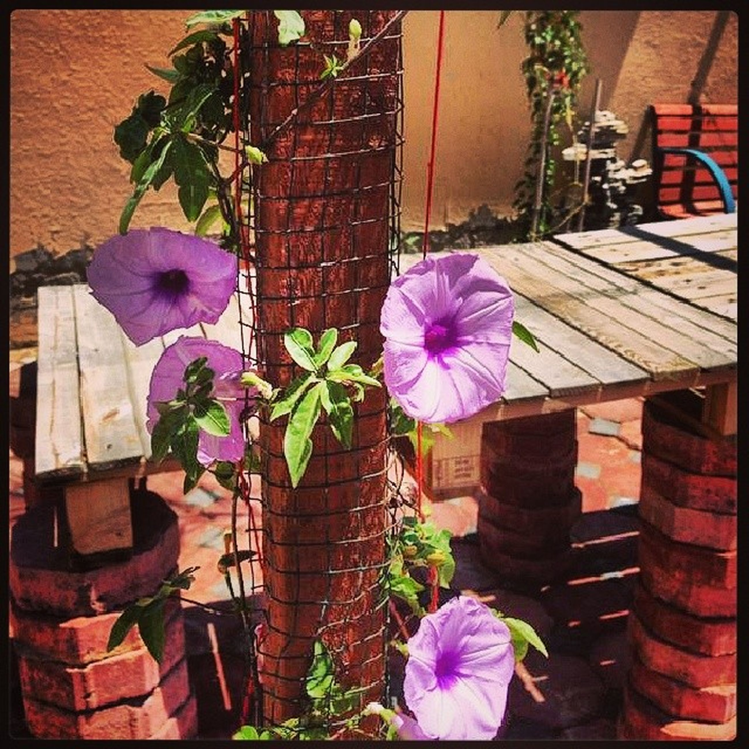 flower, transfer print, building exterior, fragility, built structure, plant, auto post production filter, purple, freshness, architecture, petal, growth, house, blooming, pink color, front or back yard, wall - building feature, flower head, potted plant, outdoors