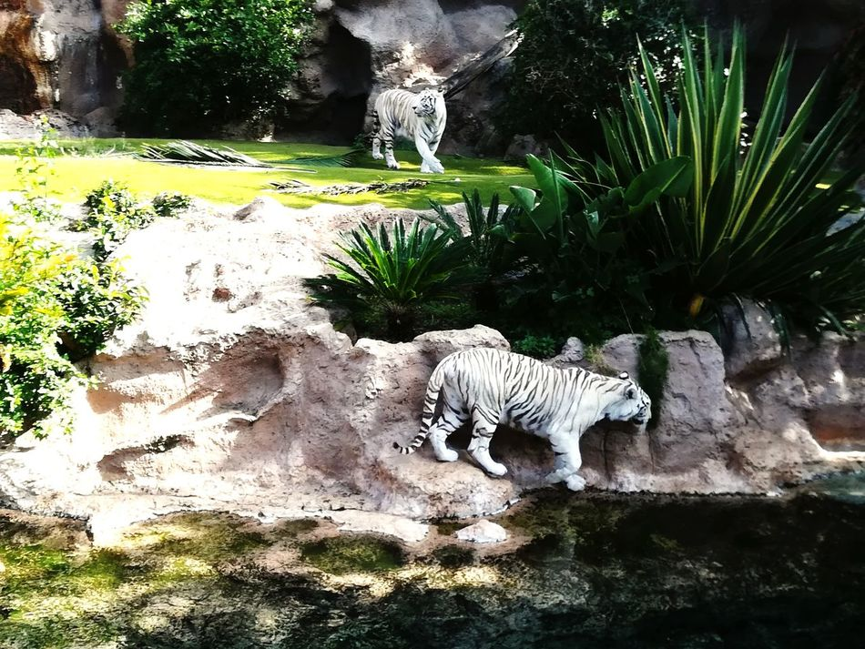 Animal Wildlife Animal Themes Tree Animals In The Wild Mammal Nature No People Water Tiger Outdoors Togetherness Day Park Animal Vacance 2017 Tenerife Travel Destinations Picoftheday