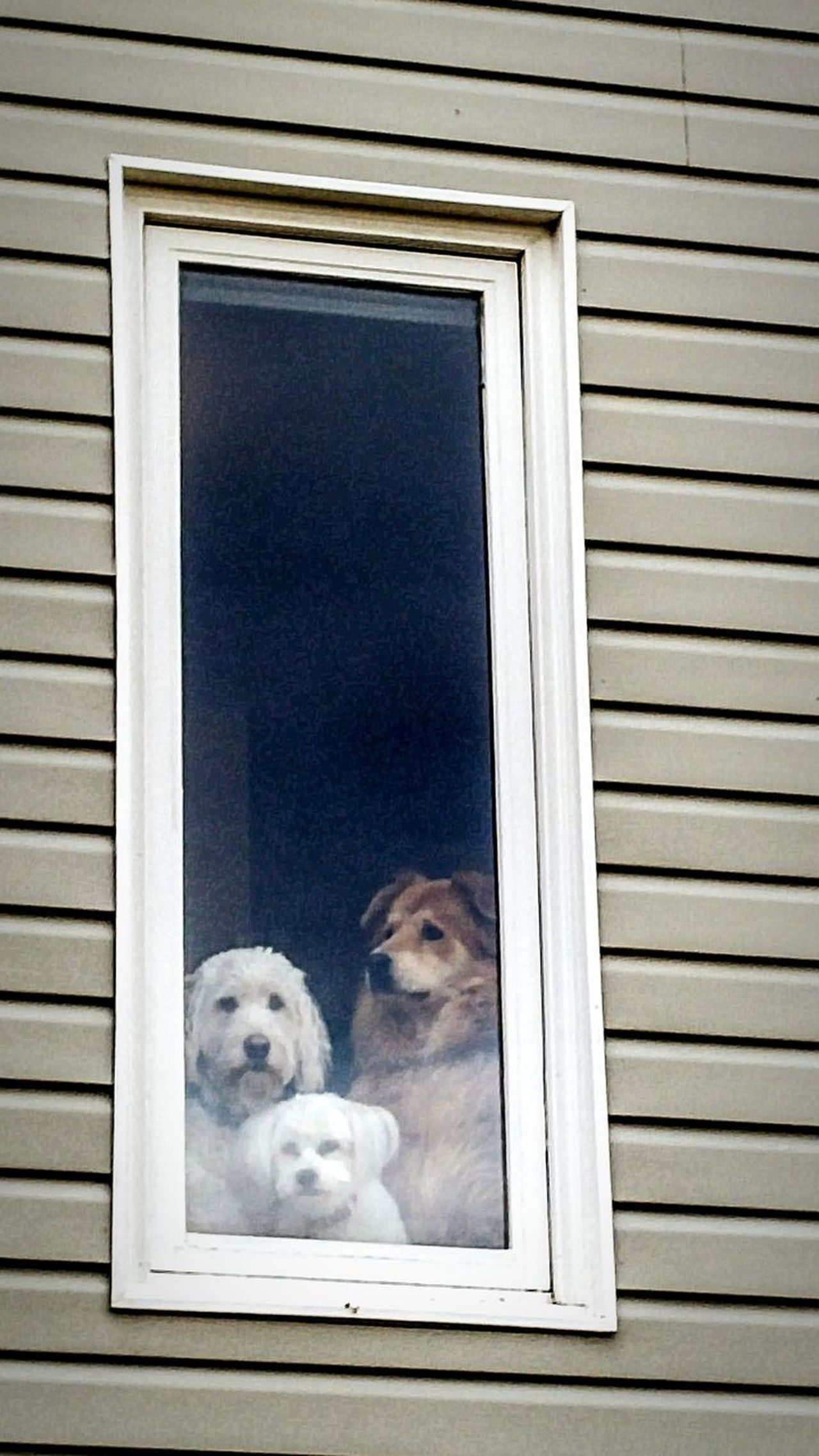 On the lookout. Faithfully waiting at home. Window Pets Looking Through Window Domestic Animals Dog No People Cute Cute Pets Building Exterior Animal Themes Day Keeping Watch Waiting Three Patience House Home