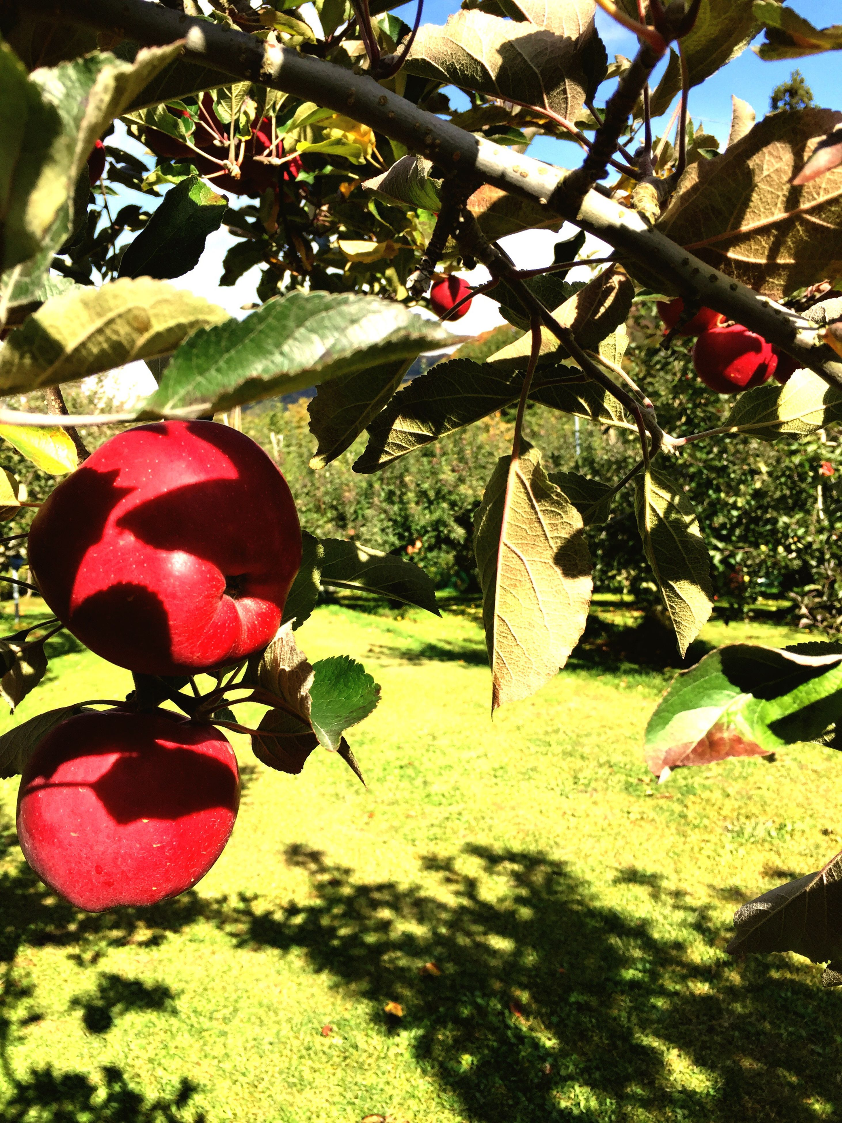 growth, tree, leaf, freshness, red, flower, plant, fruit, nature, green color, hanging, branch, day, beauty in nature, sunlight, close-up, pink color, fragility, outdoors, growing