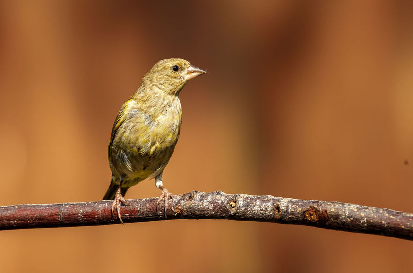 A Greenfinch perched. The European greenfinch, or just greenfinch is a small passerine bird in the finch family Fringillidae. This bird is widespread throughout Europe, north Africa and south west Asia. Animal Themes Animals Animals In The Wild Bird Bird Photography Chloris Chloris Europe European Greenfinch Nature Perching Surrey Uk Wild Wildlife Wildlife & Nature Wildlife Photography