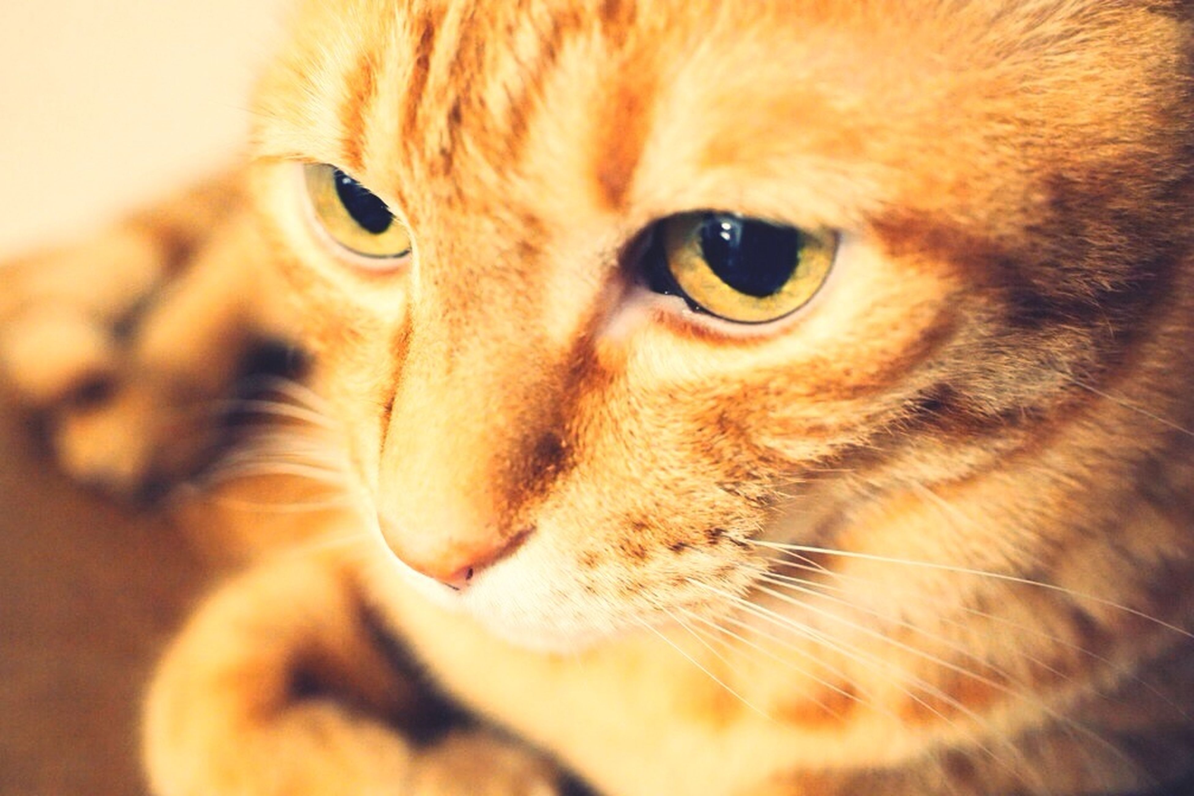 one animal, animal themes, pets, domestic animals, mammal, portrait, looking at camera, indoors, domestic cat, animal head, close-up, whisker, cat, feline, animal eye, animal body part, staring, alertness, no people