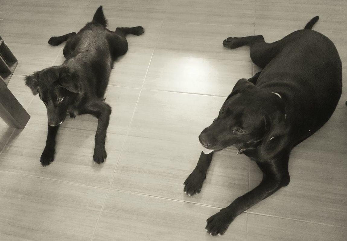 hello from weeko and kaela ❤❤❤ Ilovemydog Labrador Kintamani Dog Dog