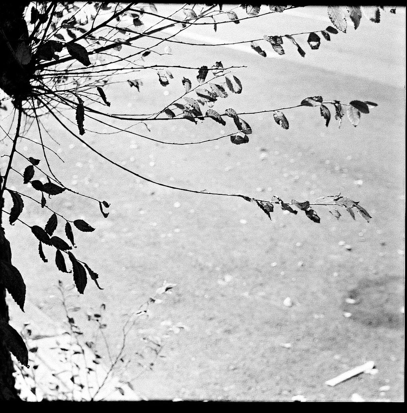 Film Plant Leaf Belair Panorama Koduckgirl 6x6 Square Blk N Wht Shadow
