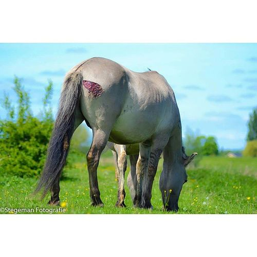 """""""Wildpaard"""" Paard Wildpaard Gewond Horse hurt dierfotografie animalphotography fotografie photography"""