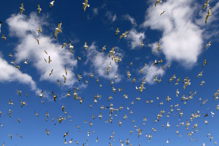 Seagulls and a few pigeons. Animal Themes Animals In The Wild Atmospheric Mood Bird Birds And Blue Sky Chaos Clouds Clouds And Birds Clouds And Sky Flight Flock Of Birds Flying Freedom Many Mayhem  Mid-air Motion Seagull Spread Wings Wildlife