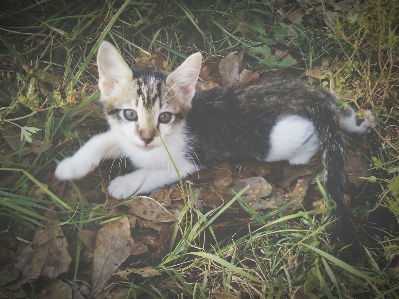 Domestic Cat Pets Feline Animal Themes One Animal High Angle View Portrait Looking At Camera Outdoors No People Sitting Kitten Grass