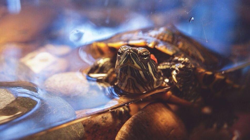 Turtle Turtle Love Sea Turtle My Turtle  Turtles(: 2015  Russia Sibiria 🐢😅