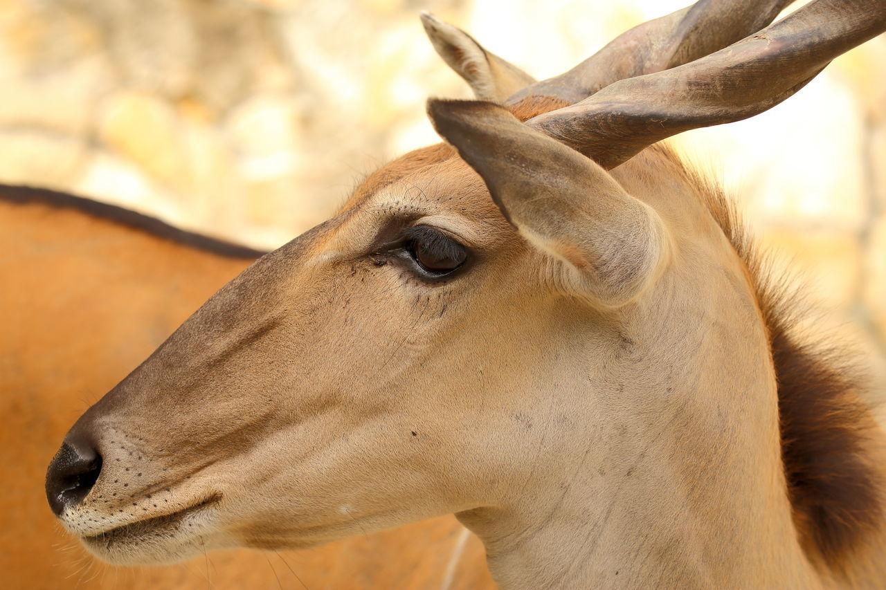 Animal Animal Body Part Antilope Close-up Common Eland HEAD Portrait Profile Zoo