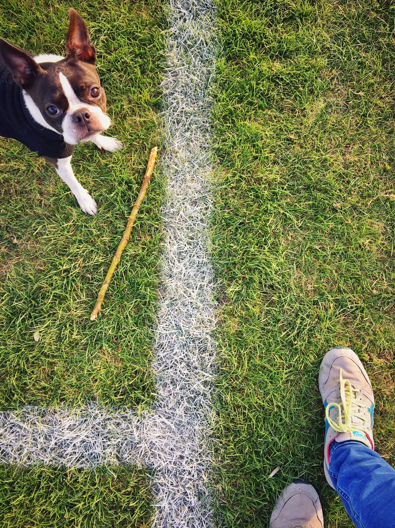 Enjoy The New Normal Boston Terrier Field Grass Lawn London London Lifestyle Park Life Stick Dog Pet Trainer Shoe Playground