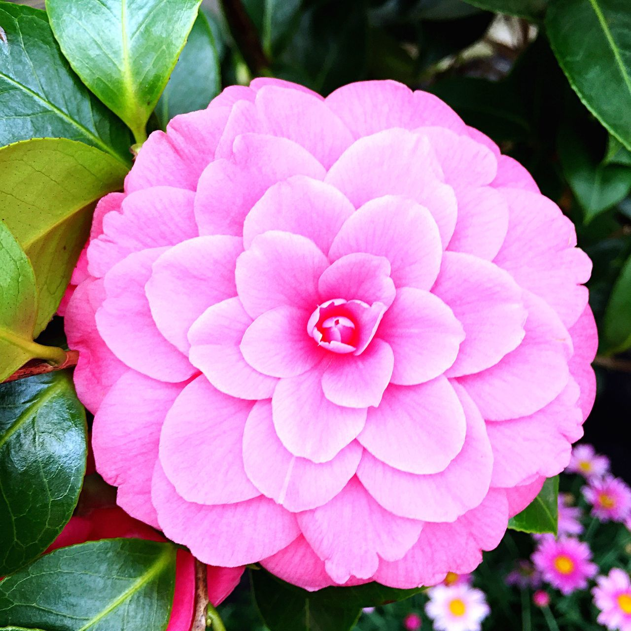 Camelia Flower Petal Beauty In Nature Nature Blooming Fragility Plant Camellia Flower Head Freshness Pink Color Outdoors Close-up No People Day