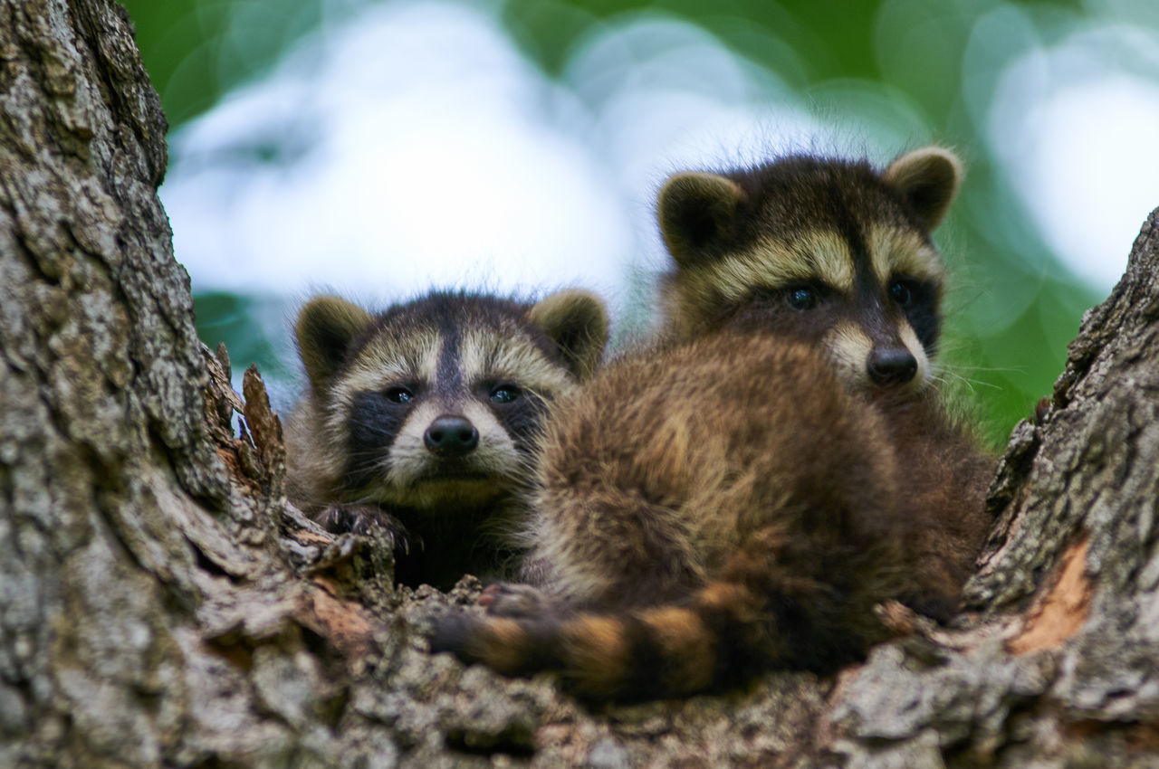 Beautiful stock photos of raccoon, Animal Themes, Animal Wildlife, Animals In The Wild, Close-Up