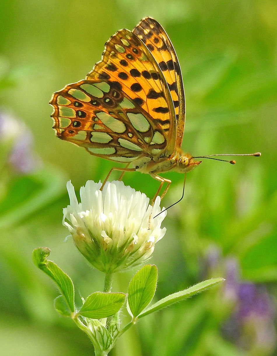 high brown fritillary (Fabriciana adippe) Butterfly Butterfly - Insect Day Fabriciana Adippe Flower Flowers Fragility High Brown Fritillary Insect Nature No People Outdoors Wildlife