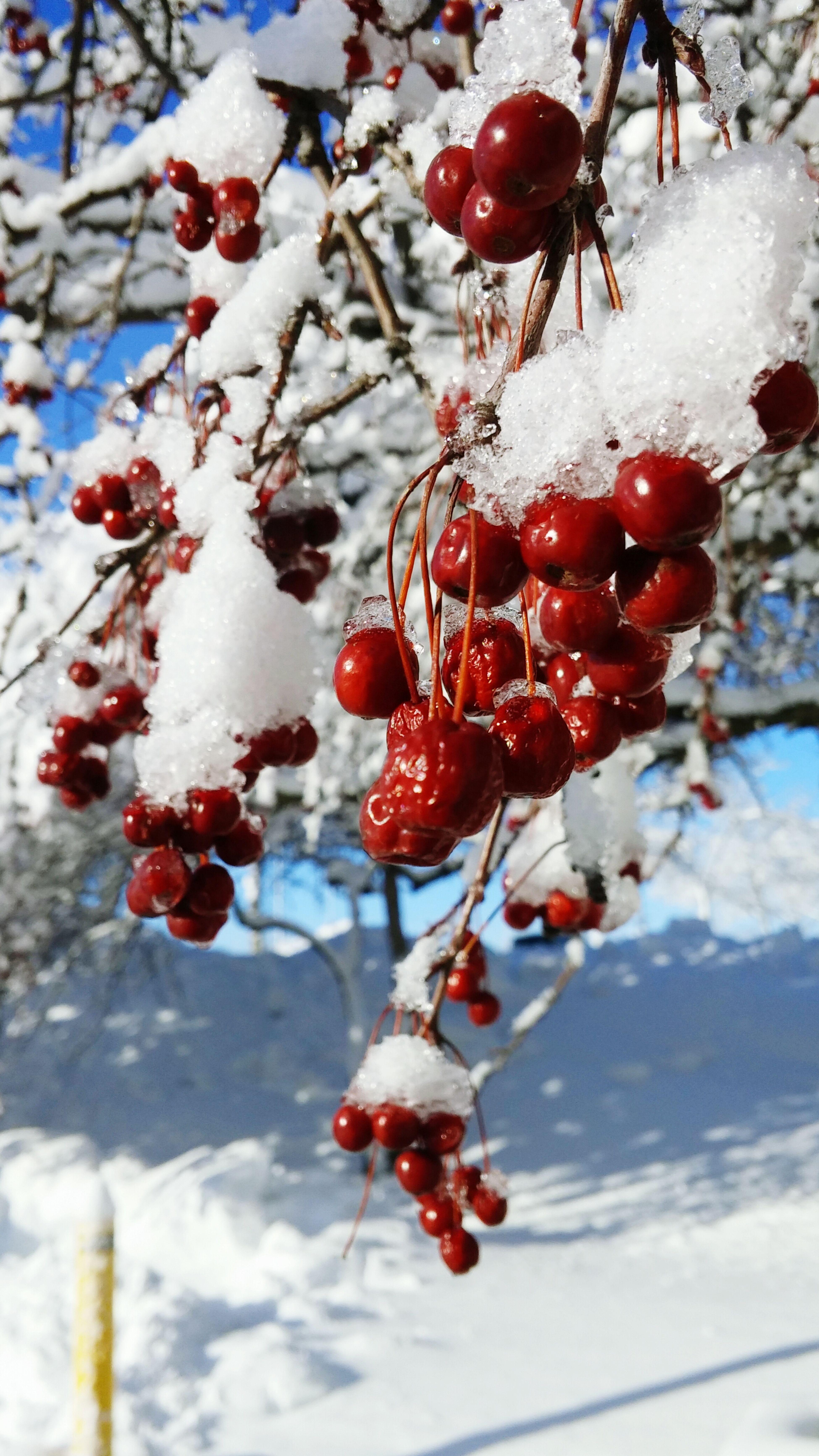 I love love love love this photo. ? So Pretty<3 Lovelovelove Snow ❄ Berries