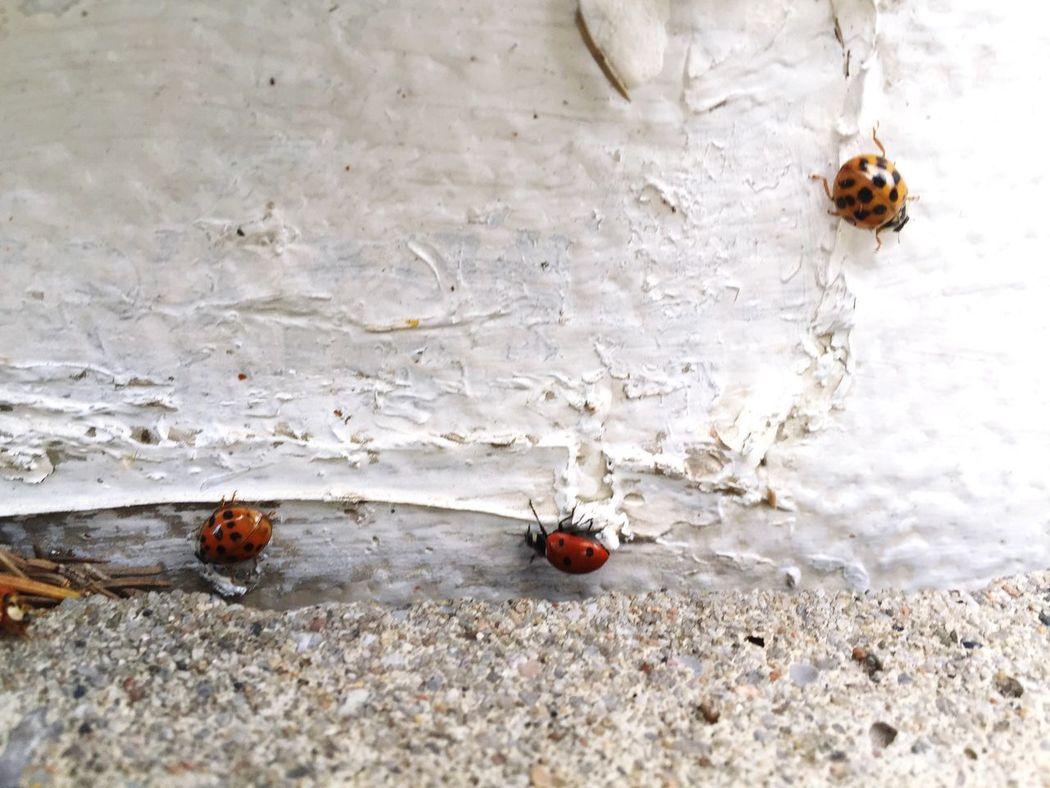 Follow The Lady Bug Ladybug Wildlife Nature Red Red Ladybugs Cute♡ Wildlife & Nature Fall_collection Fall Outdoors Insects  Bugs Ladybugs Lady Bug Lady Bugs Nature Photography Wildlife Photography Outdoor Photography Wall Ladybug Collection LadyBugLove Ladybug🐞 Ladybugs Photography Ladybug😊😊🐞🐞🐞 Ladybugphoto