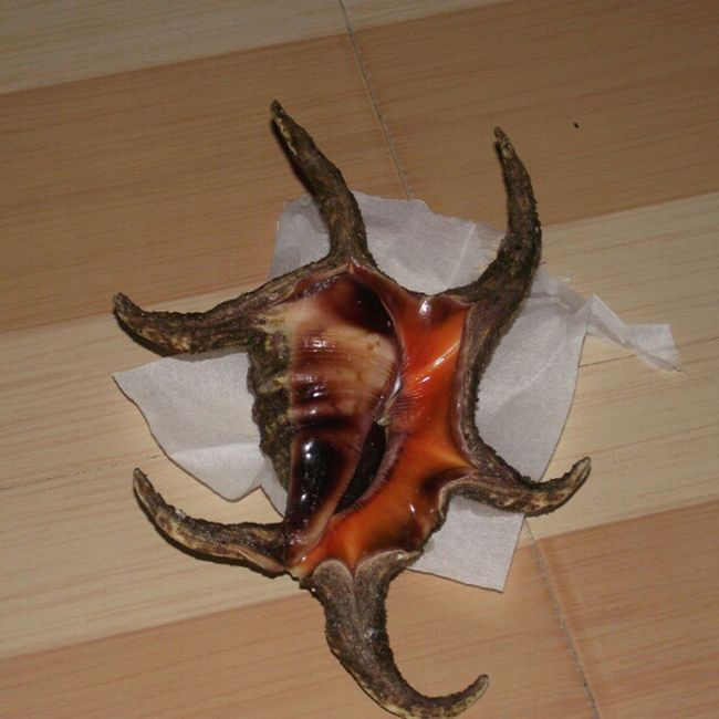 Raakani Seashell Nature