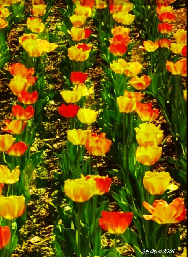 Urban Spring Fever Taking Photos Check This Out Flower Collection Tulips....