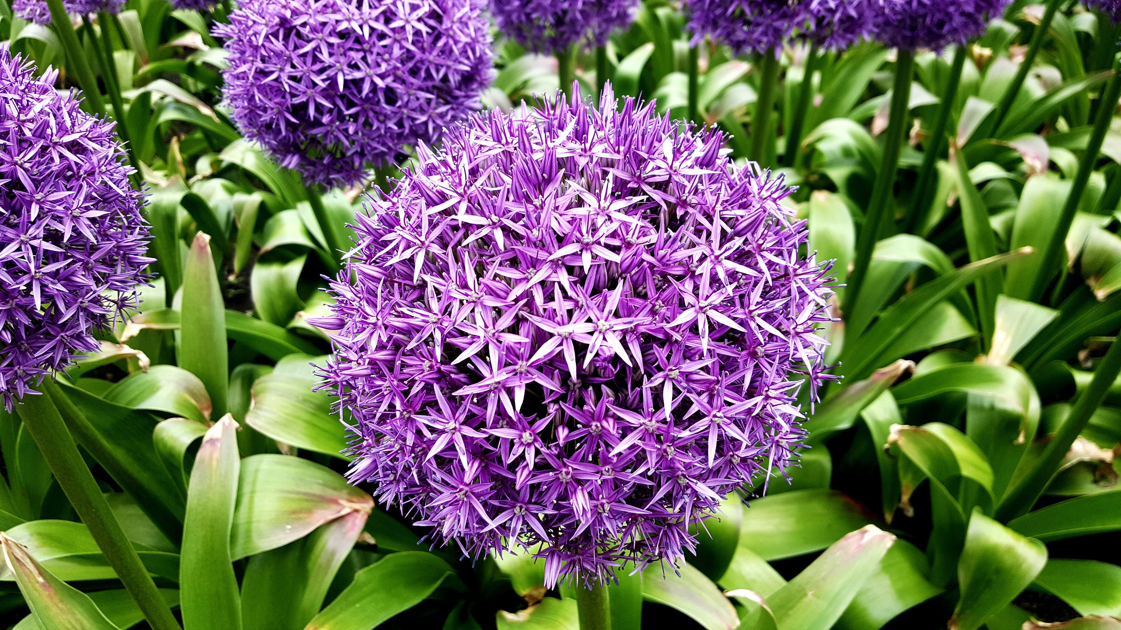 purple, growth, flower, beauty in nature, nature, petal, plant, day, freshness, outdoors, fragility, no people, green color, flower head, blooming, close-up