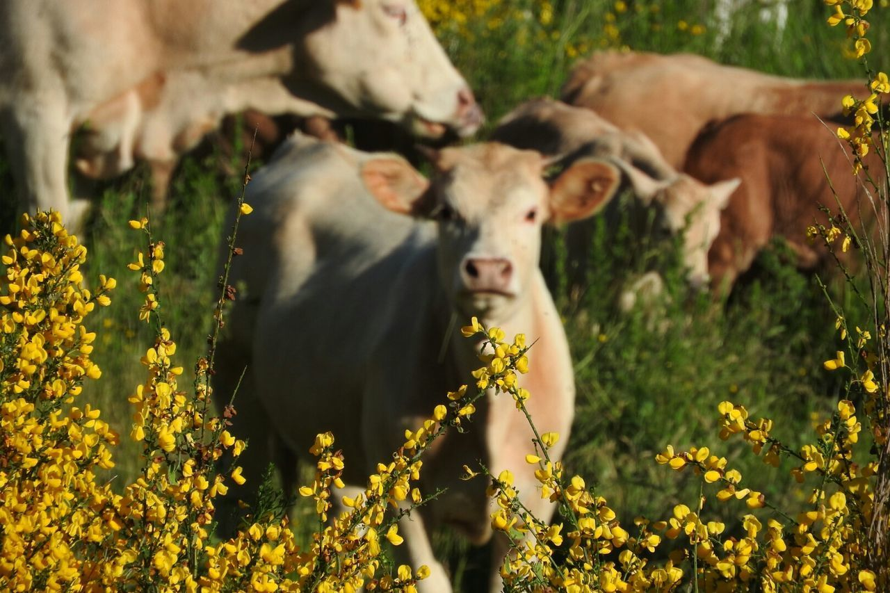 Agriculture Cattle Animal Cow Mammal Outdoors Young Animal Rural Scene Grass Nature Animal Themes Taking Photos Calabriadaamare Calabria South Italy Sila Calabria Taking Pictures Flower Plant No People Growth Ginestra