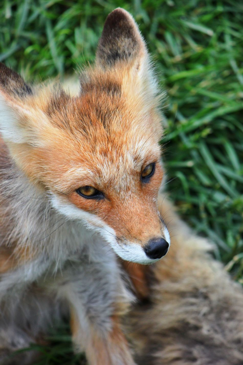 Beautiful stock photos of fox, Animal Themes, Animals In The Wild, Close-Up, Day