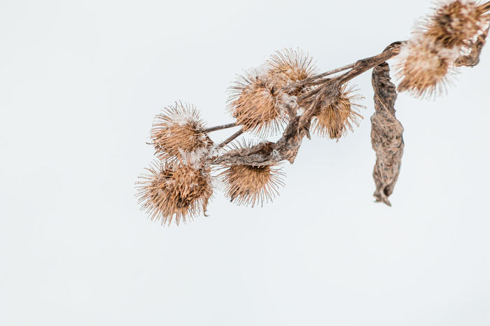 Arts Culture And Entertainment Branches BURR Celebration Close Up Composition Dandelion Dead Dead Plant Dried Dried Flowers Fragility Growth High Key Low Angle View Negative Space Night No People One One Object Sharp Showcase: February Snow Covered Winter Wintertime
