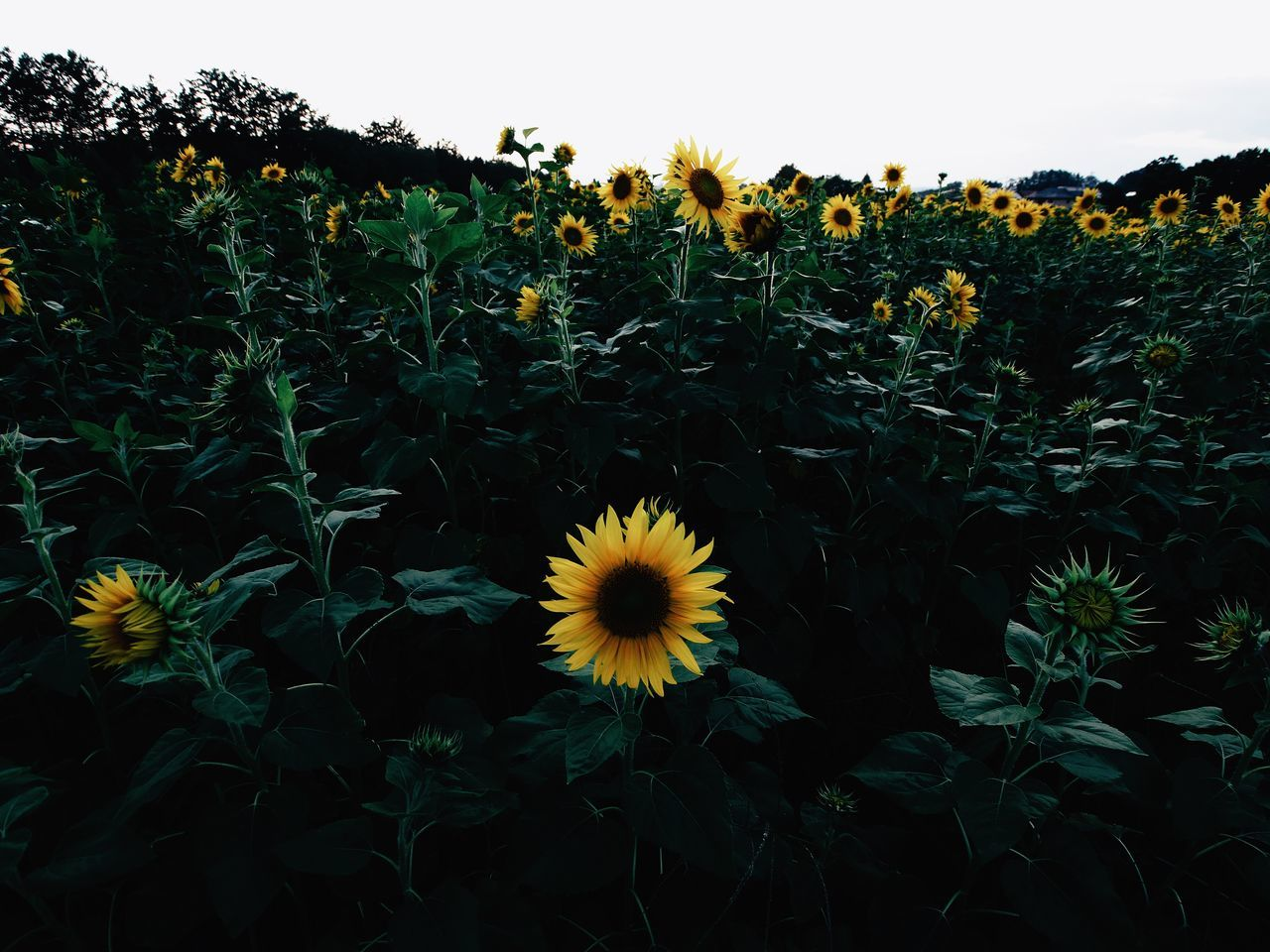 Protectionsunflowers field] Flower Collection EyeEm Flower Flowers_collection Nature_collection EyeEm Nature Lover