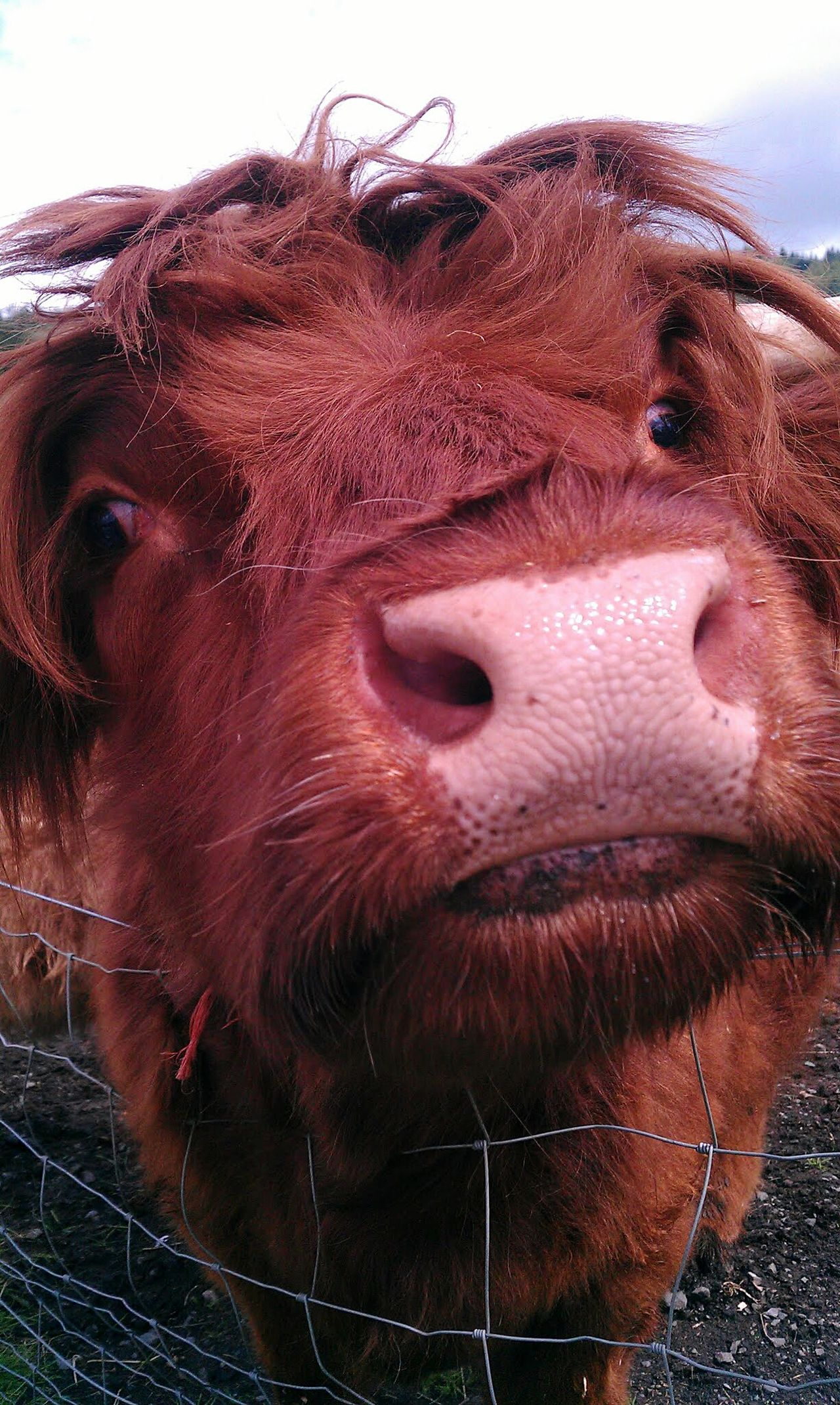 A hairy coo Animal Themes Outdoors Day No People Close-up A Surprise Visitor Hairy Scotland Scottish