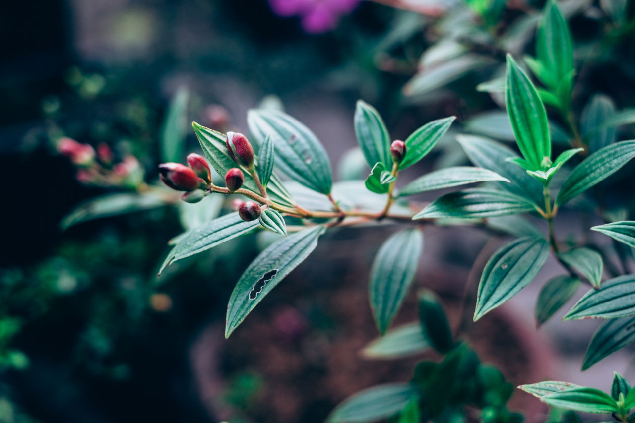 Background Beauty In Nature Blooming Bokeh Close-up Contrast Copy Space Day Flower Flower Bud Flower Head Foliage Fragility Freshness Gardening Green Color Green Color Growth Leaf Matte Nature Outdoors Plant Red Selective Focus