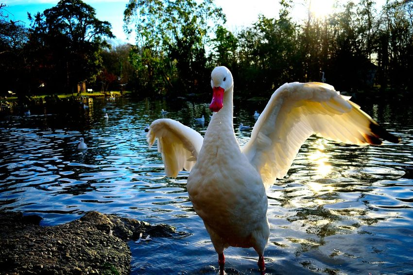 Animal Animal Themes Animal Wildlife Animals In The Wild Bird Close-up Day Full Length Nature No People Outdoors Swan Tree Water