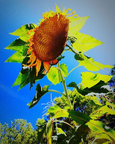 Flower Plant Leaf Growth Nature Sky Outdoors Sunflower Freshness No People Close-up Day Beauty In Nature Flower Head Plant Daytime Green Color EyeEmNewHere Clear Sky Beauty In Nature Freshness