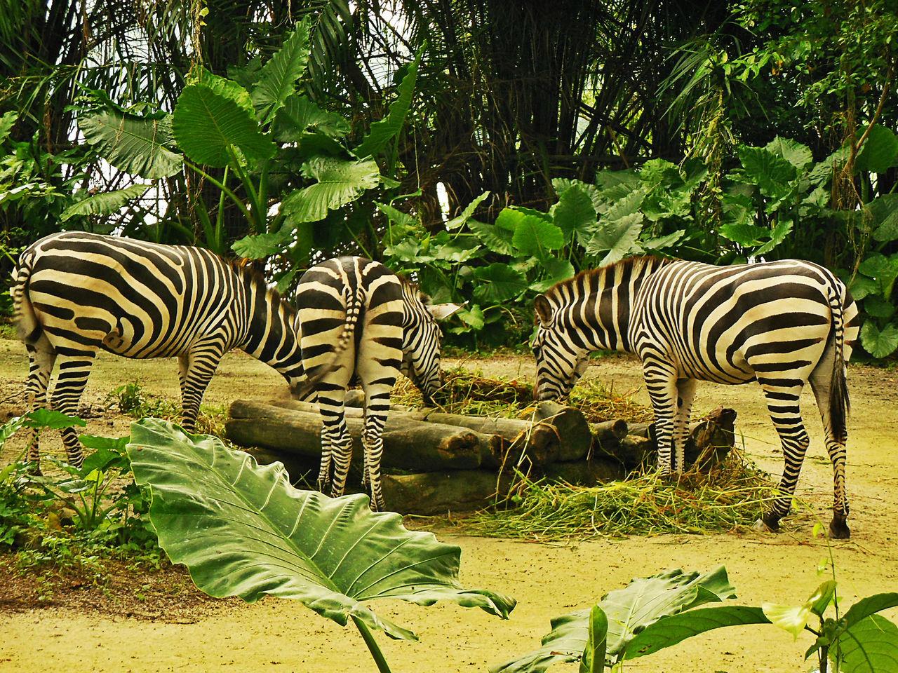Animal Themes Animal Wildlife Animals In The Wild Herbivorous Mammal Safari Animals Singapore Zoological Garden Sneaking Up Behind Striped Zebra Zebra Herd