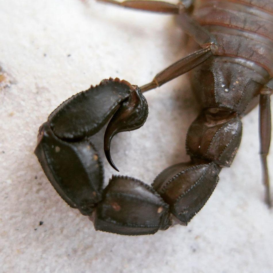 "1.0 Androctonus baluchicus ""dark morph"" (Pakistan). Adult Androctonus Animal Wildlife Animal Themes Fattailscorpion Androctonusbaluchicus Pakistan Scorpion Skorpion Insect Scorpions"