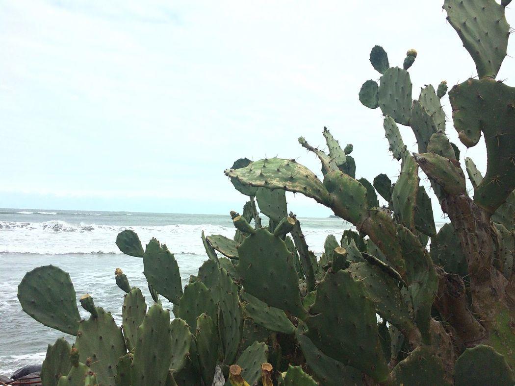 Cactus Nopal Nopales Nopales En El Mar Cacti By The Ocean Atlantic Ocean Gulf Of Mexico Veracruz